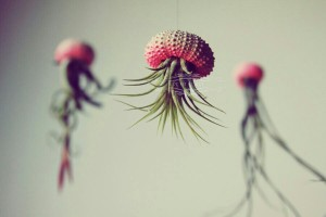 3 Ombre Jellyfish Air Plants